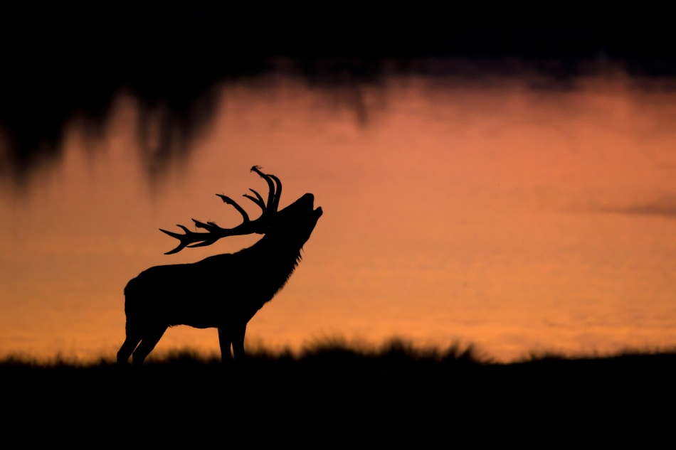 A piece of fine art art photography titled Stag Belling Under the Sunrise by david garnier