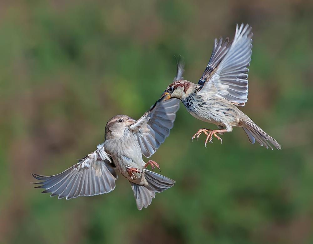 A piece of fine art art photography titled Dogfight  Spanish Sparrow by yaki zander