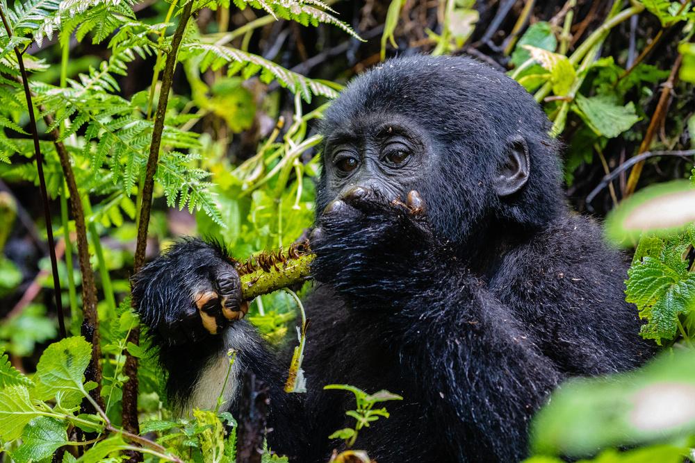 Wild young gorilla