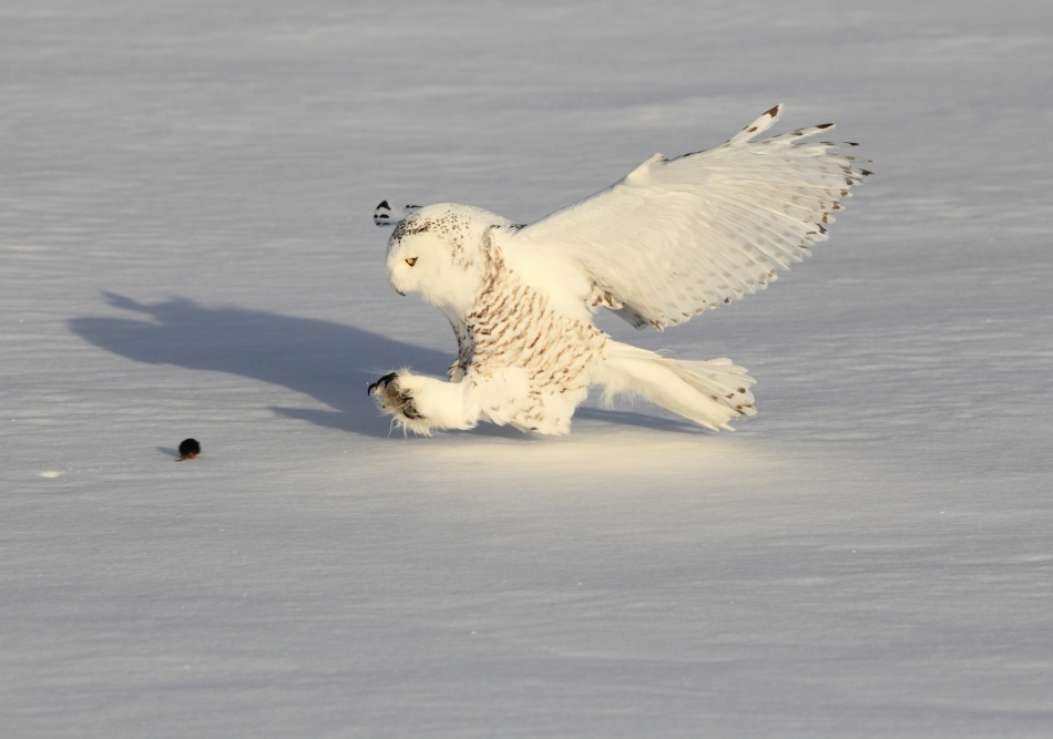 A piece of fine art art photography titled Snowy Owl and a Mouse by Akihiro Asami