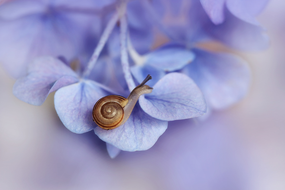 Little snail on hydrangea