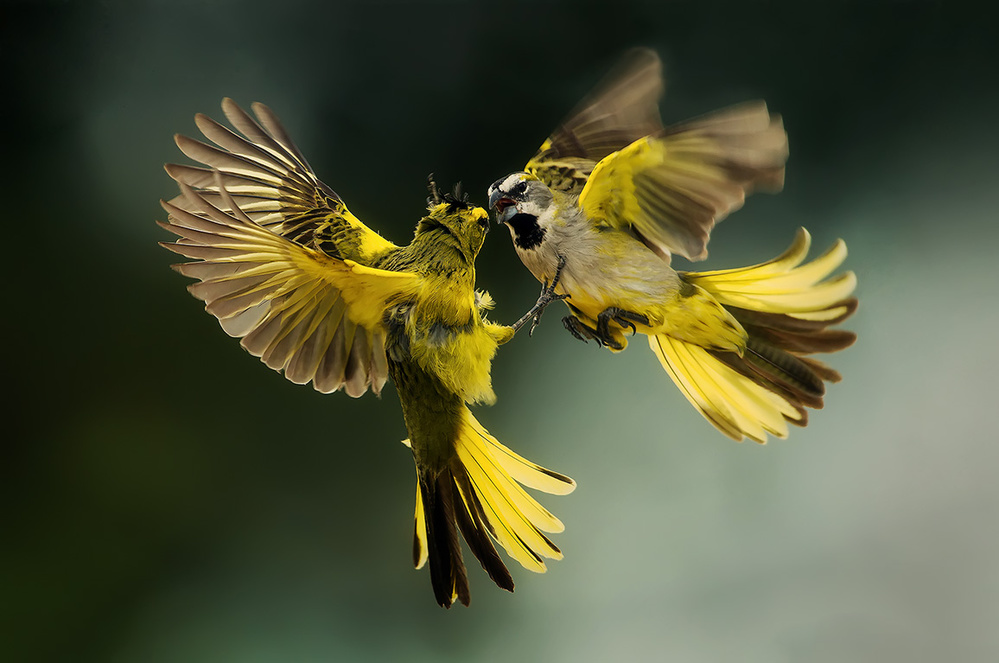 Yellow Cardinals
