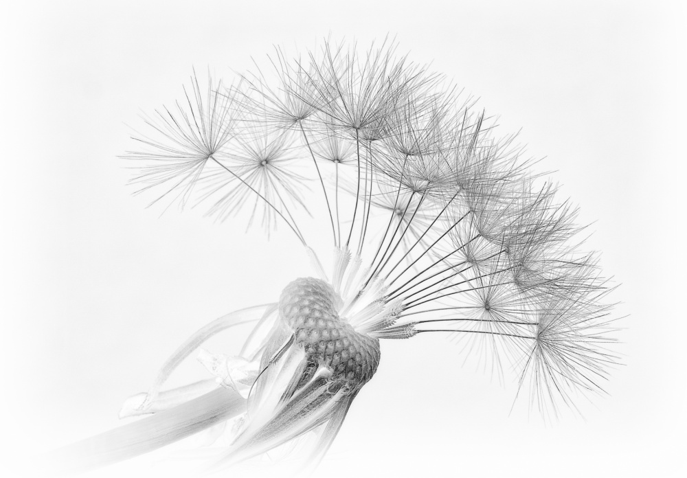 A piece of fine art art photography titled Dandelion by Pete Tombs
