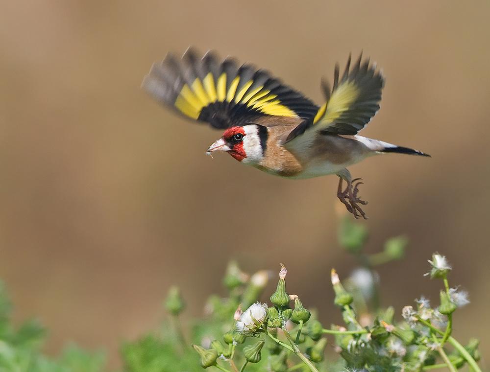 A piece of fine art art photography titled Goldfinch by yaki zander