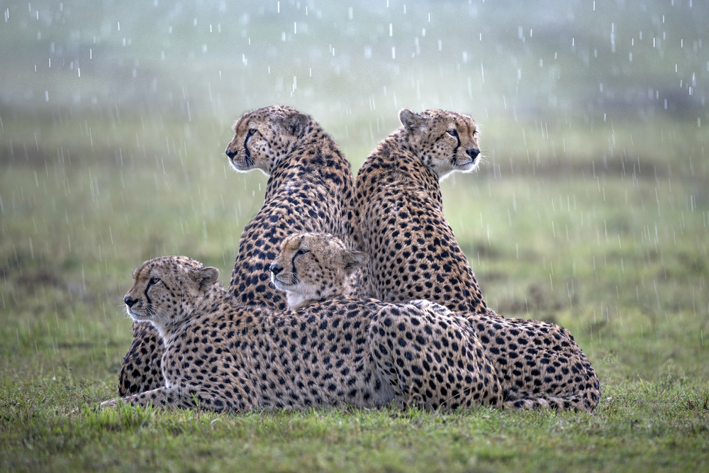 Cheetahs in the rain