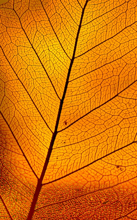 A piece of fine art art photography titled Golden Leaf by frank