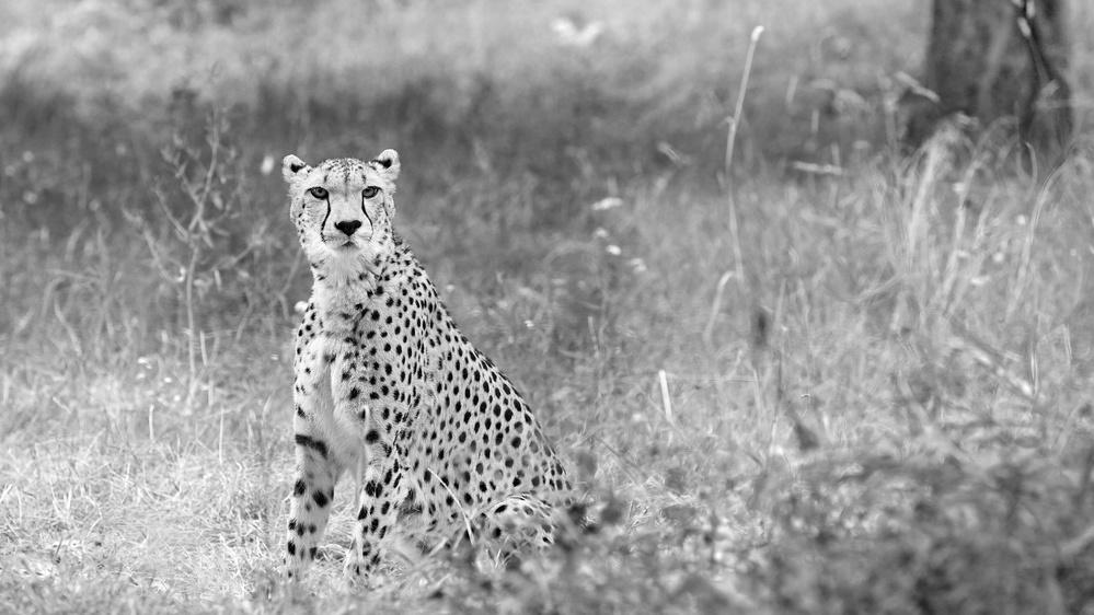 A piece of fine art art photography titled Cheetah by Essa Tawfeeq