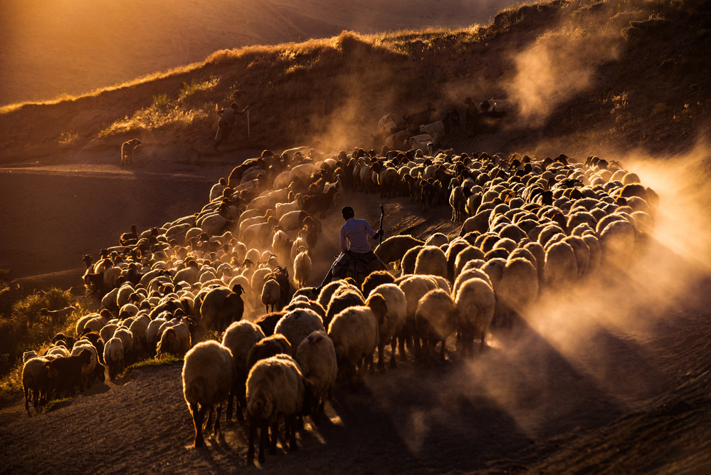 View this piece of fine art photography titled sheep flock by Alex Li