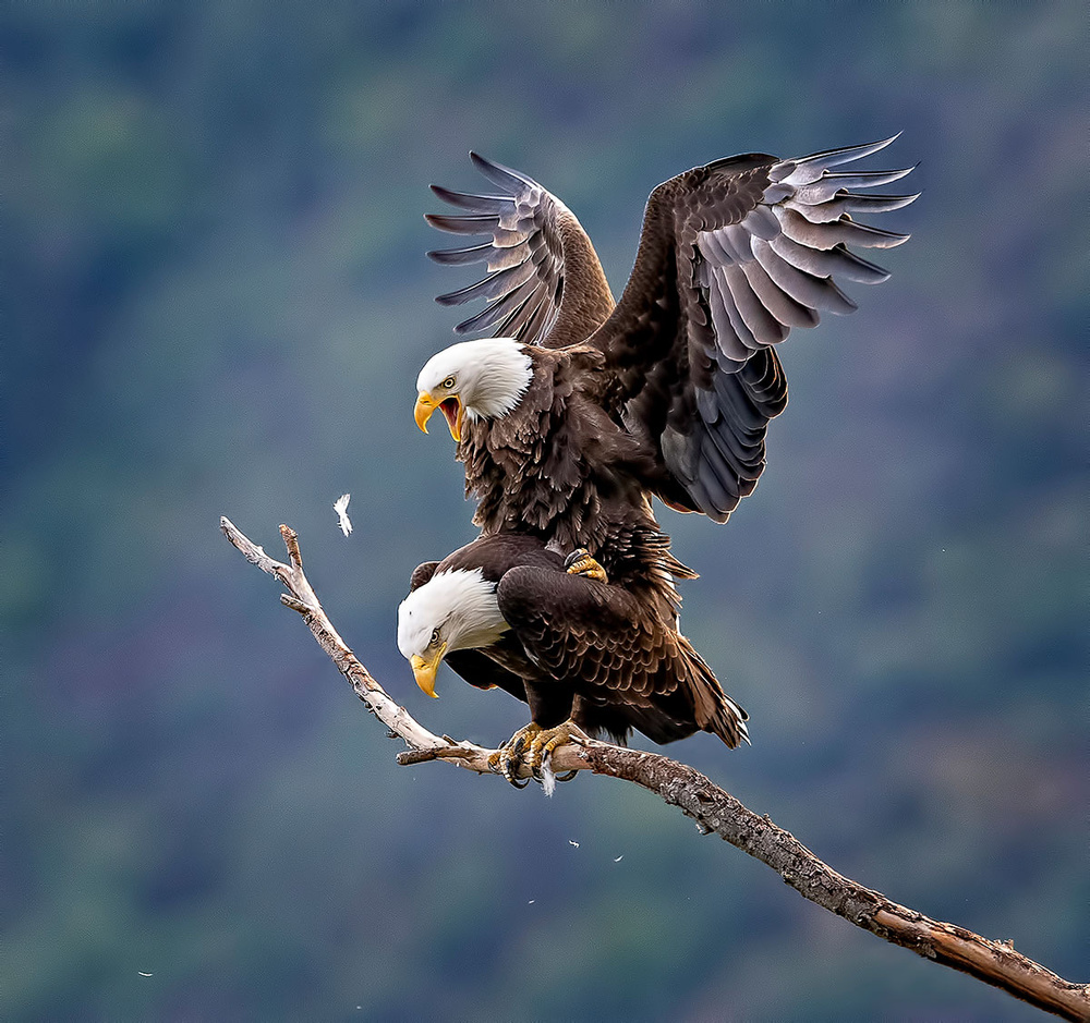 Eagles in Love!