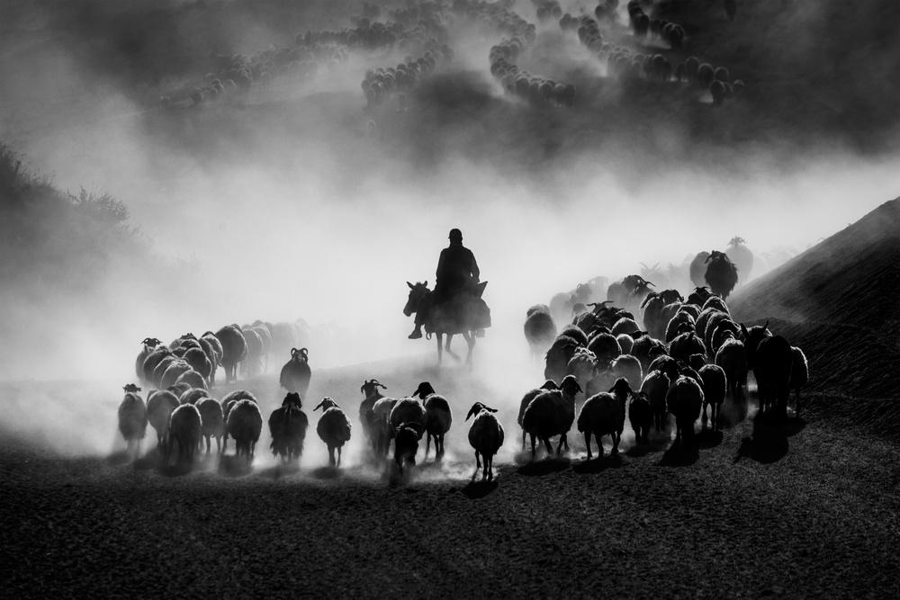 Trip ( Sheep Herd )