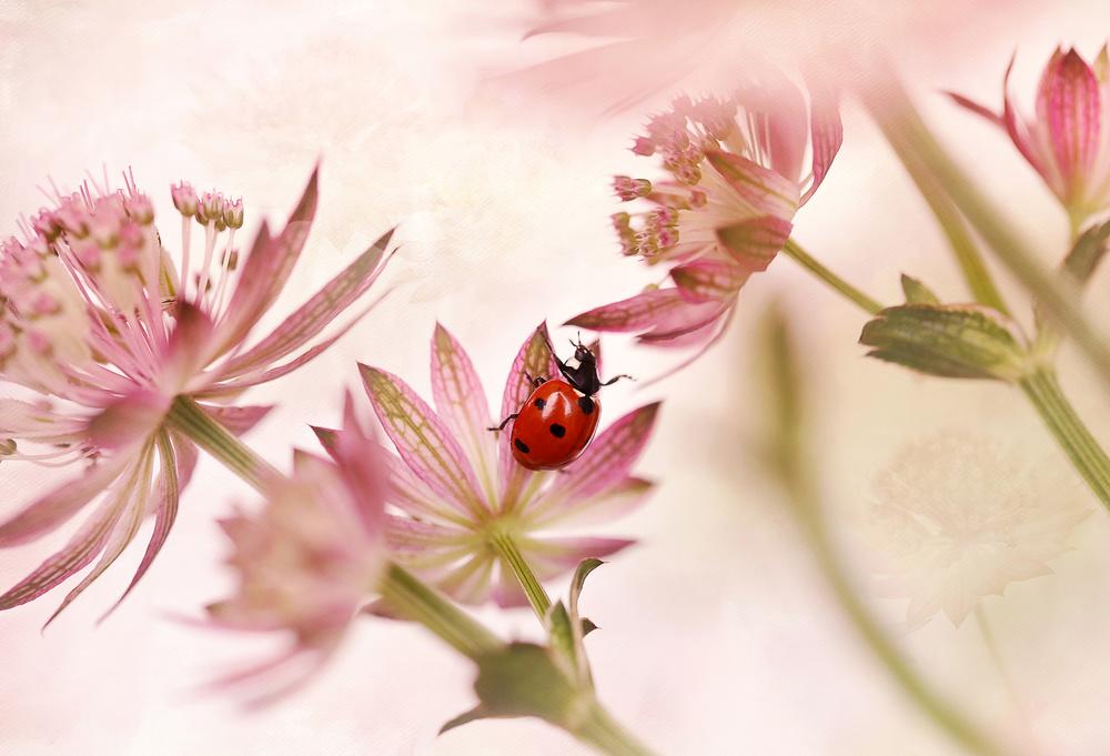 A piece of fine art art photography titled Ladybird and Pink Flowers by Ellen van Deelen