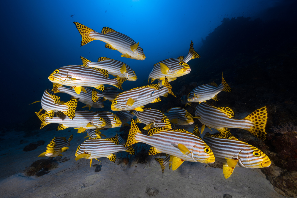 A piece of fine art art photography titled Underwater Photography-Indian Ocean Sweetlips by Barathieu Gabriel