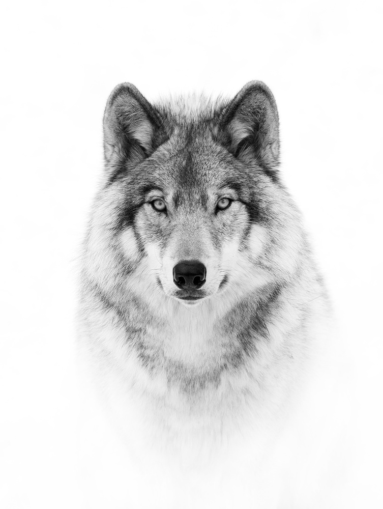A piece of fine art art photography titled Portrait of a Timber Wolf by Jim Cumming