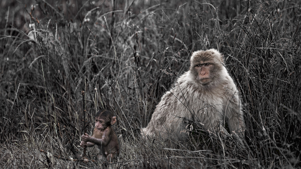 A piece of fine art art photography titled Macaque by Essa Tawfeeq