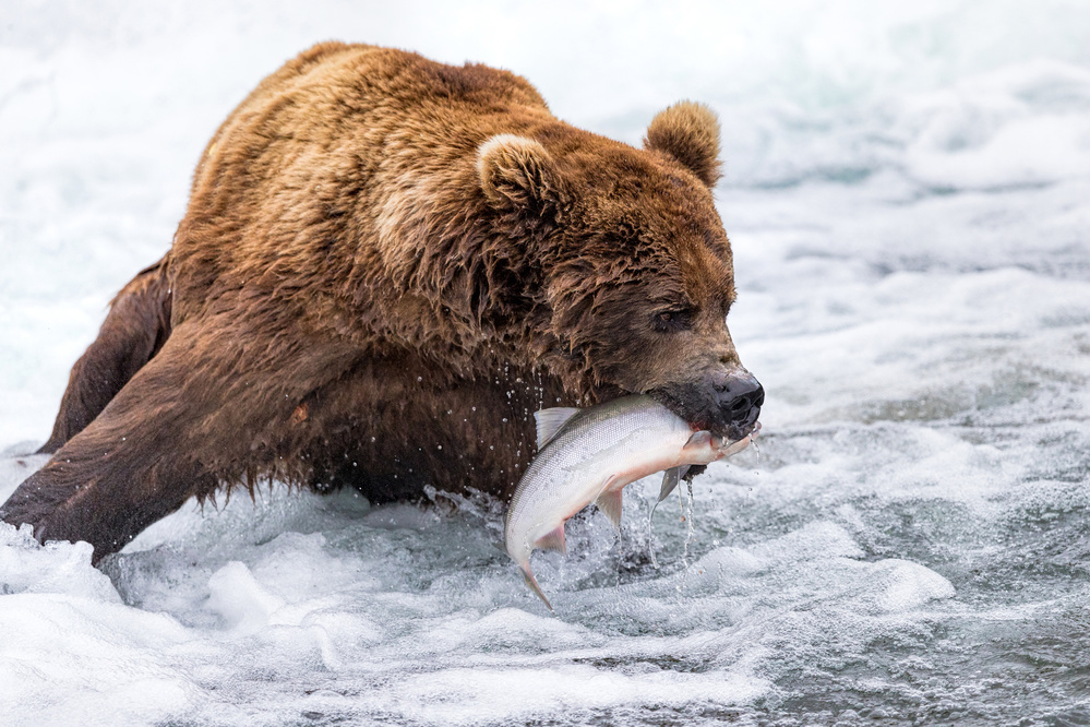 A piece of fine art art photography titled Brown Bear Fishing by Mike Centioli