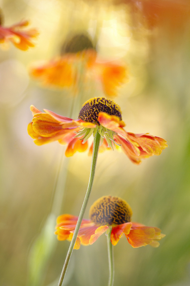 A piece of fine art art photography titled Helenium by Mandy Disher
