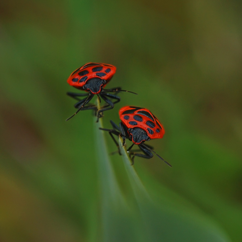 A piece of fine art art photography titled Wants, Eurydema Dominula by Lifeware