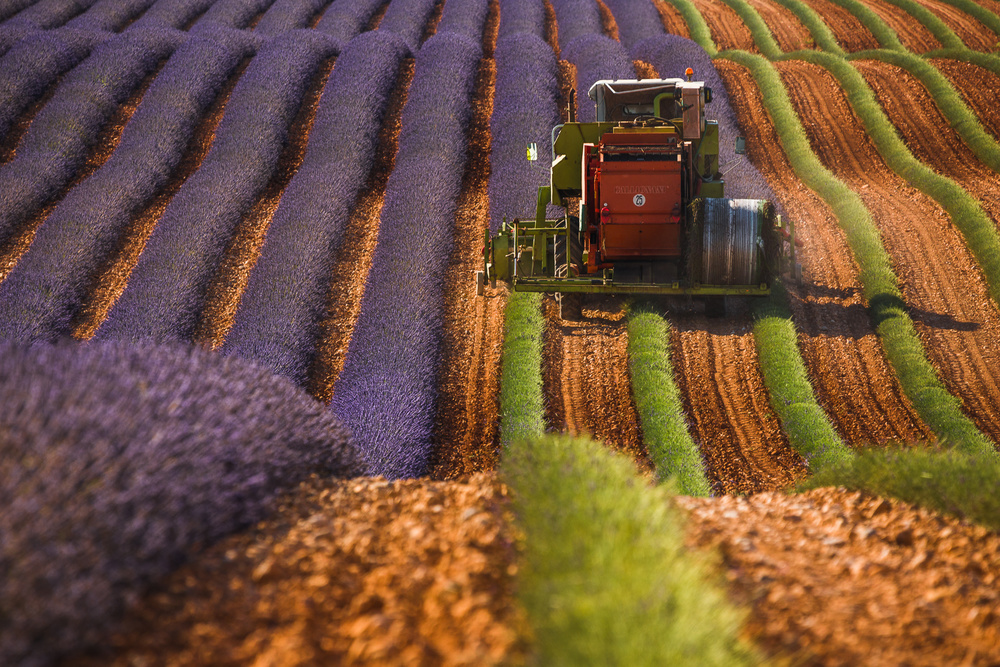 A piece of fine art art photography titled Lavender Harvest by Pawel Uchorczak