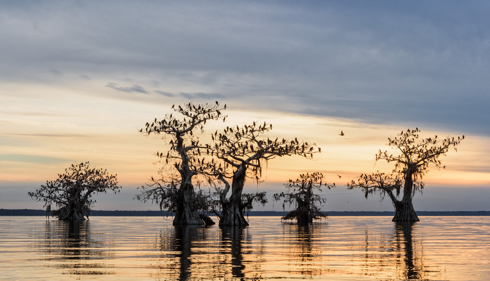 A piece of fine art art photography titled Cormorant Forest by Marsel van Oosten
