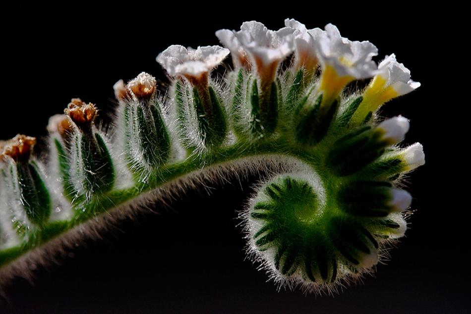 A piece of fine art art photography titled Boraginaceae / Heliotropium Ellipticum by Yavuz Sariyildiz