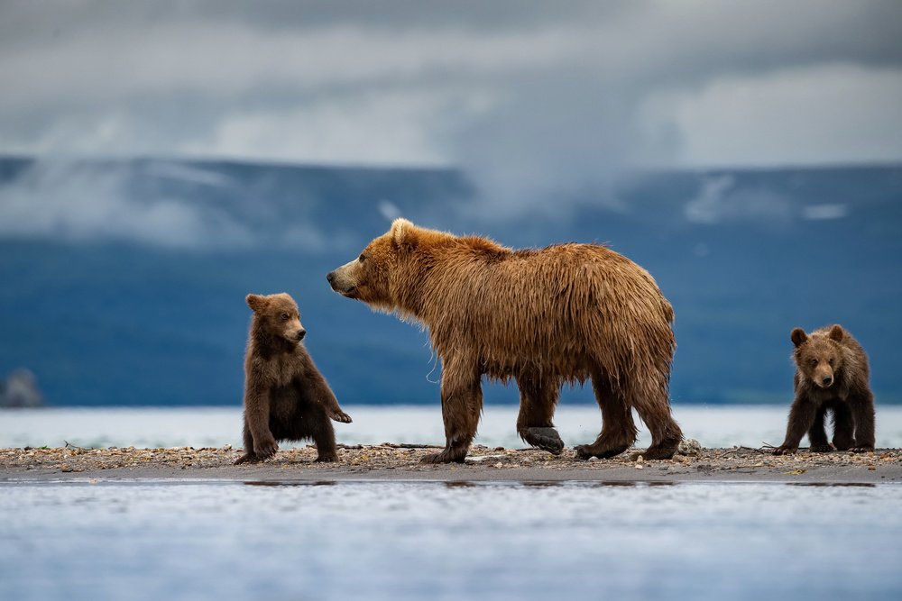 A piece of fine art art photography titled TheKamchatkabrownbear, Mother With Cubs by Petr Simon