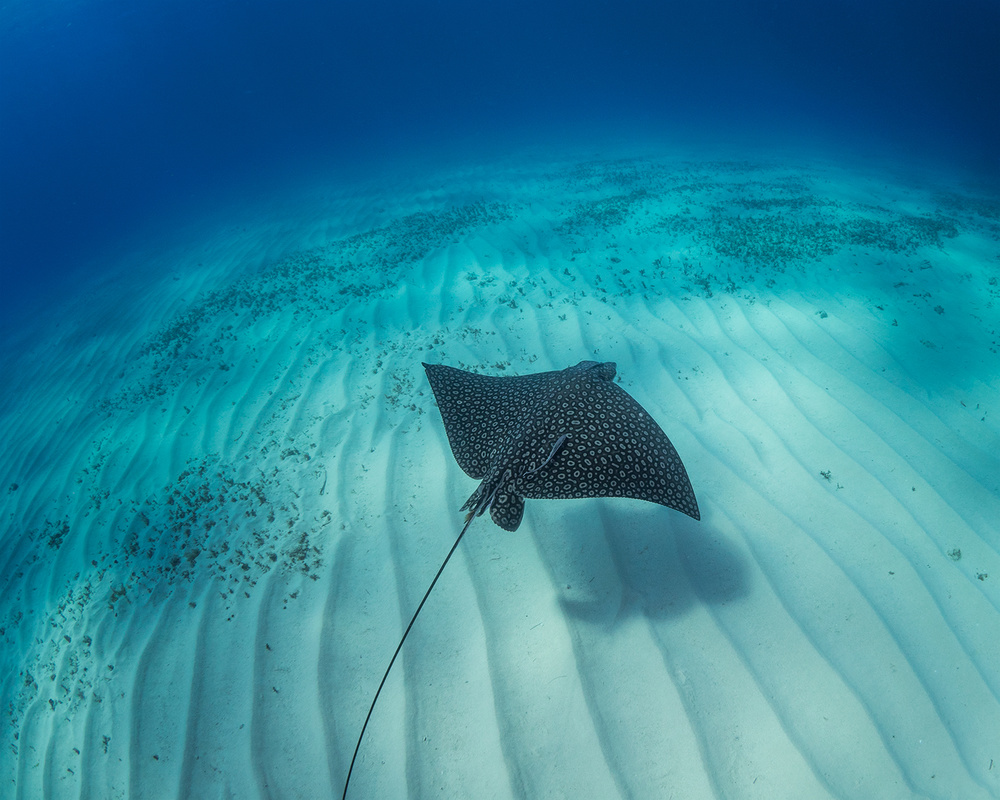 A piece of fine art art photography titled Spotted Eagle Ray by Eugene Kitsios