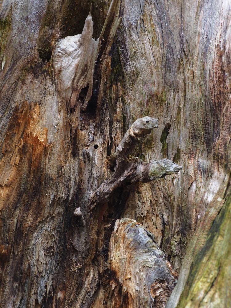 Inside an old birch