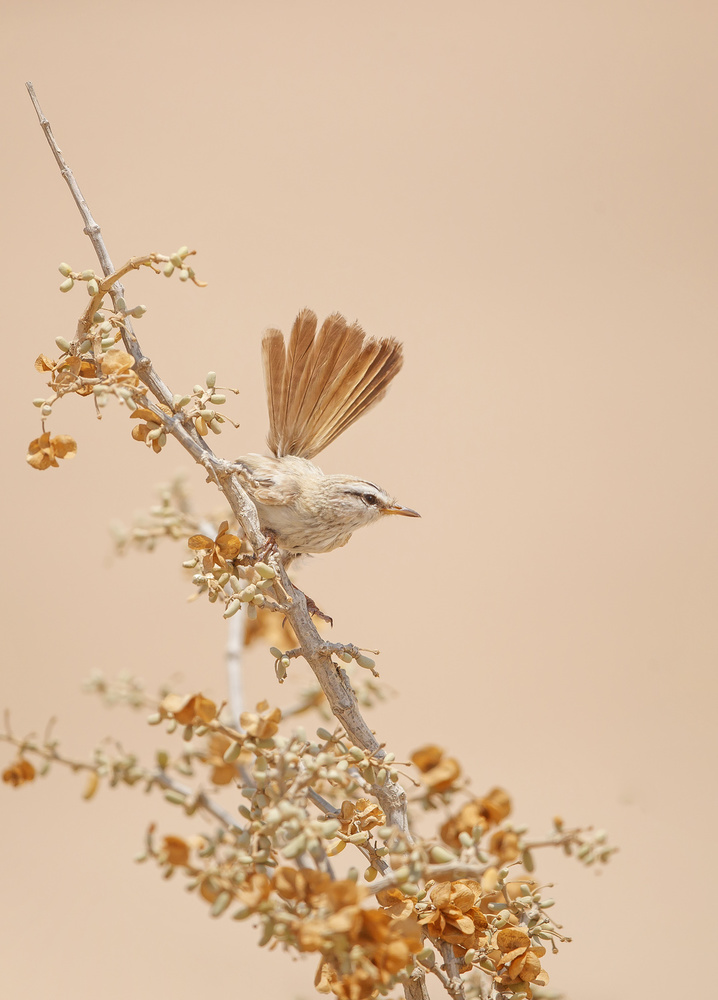 A piece of fine art art photography titled Scrub Warbler by Shlomo Waldmann