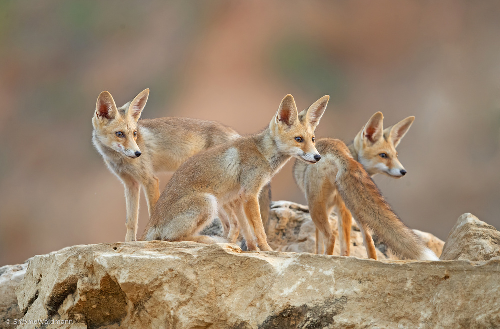 View this piece of fine art photography titled FOXES. Juveniles by Shlomo Waldmann