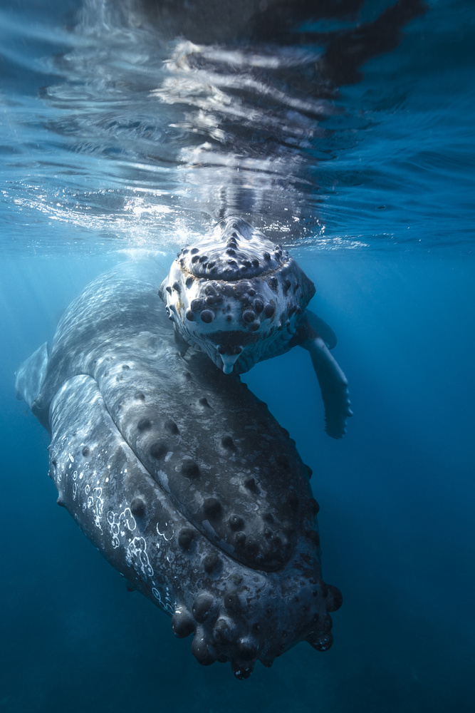 A piece of fine art art photography titled Humpback Whale and Calf by Barathieu Gabriel