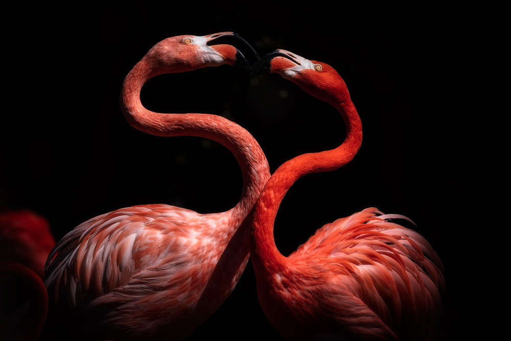 View this piece of fine art photography titled Flamingos by Faris