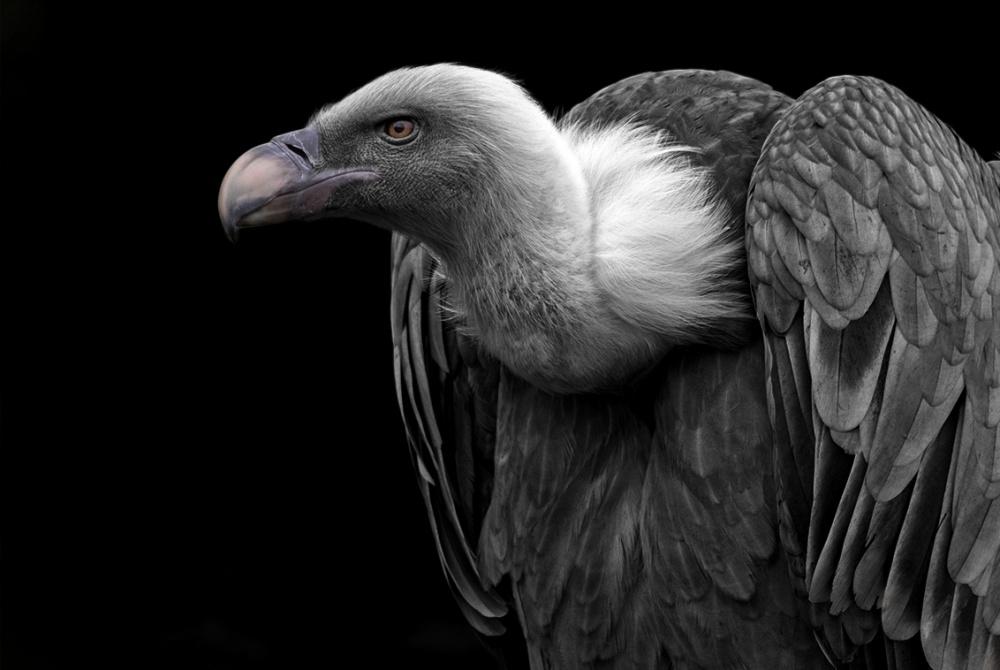 A piece of fine art art photography titled Griffon Vulture/ Vale Gier by Nieske Siepel