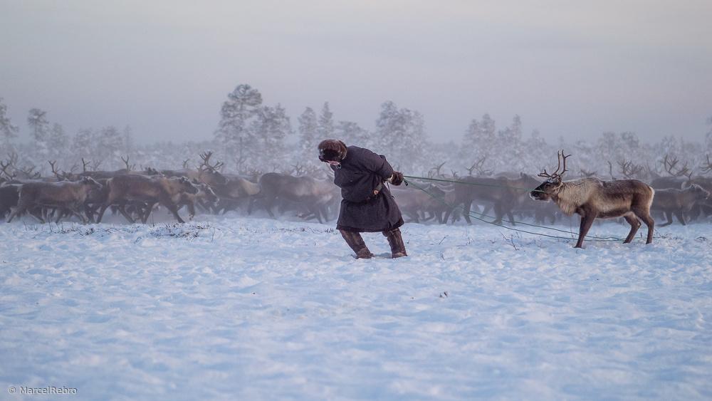 Nenet and reindeer II