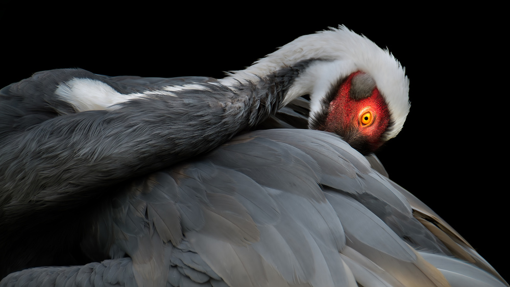 A piece of fine art art photography titled The Preen  by Paul Keates