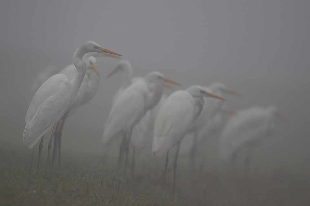 A piece of fine art art photography titled Great Egrets by Roberto Parmiggiani