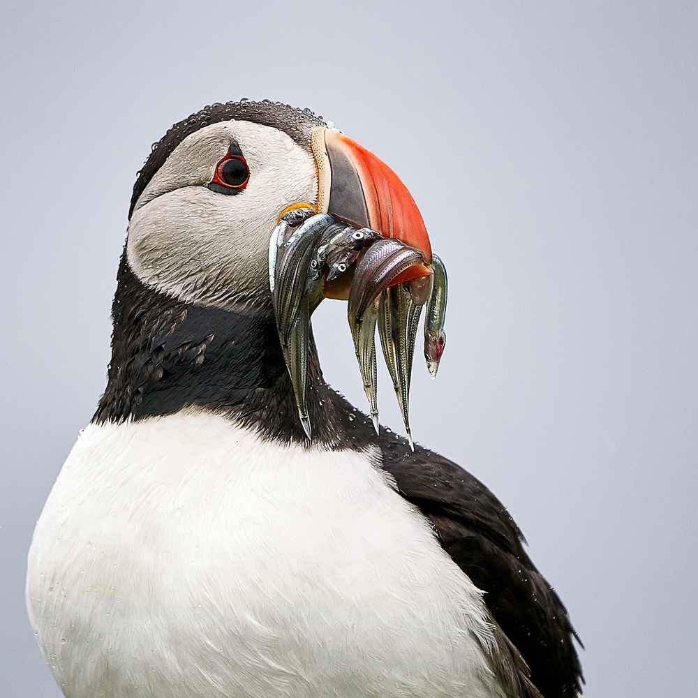 Lunch time / portrait of a puffin