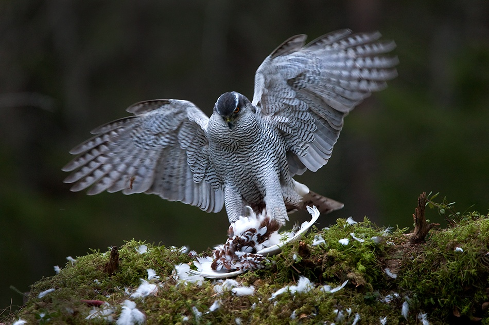A piece of fine art art photography titled Goshawk by Marcus Larsson