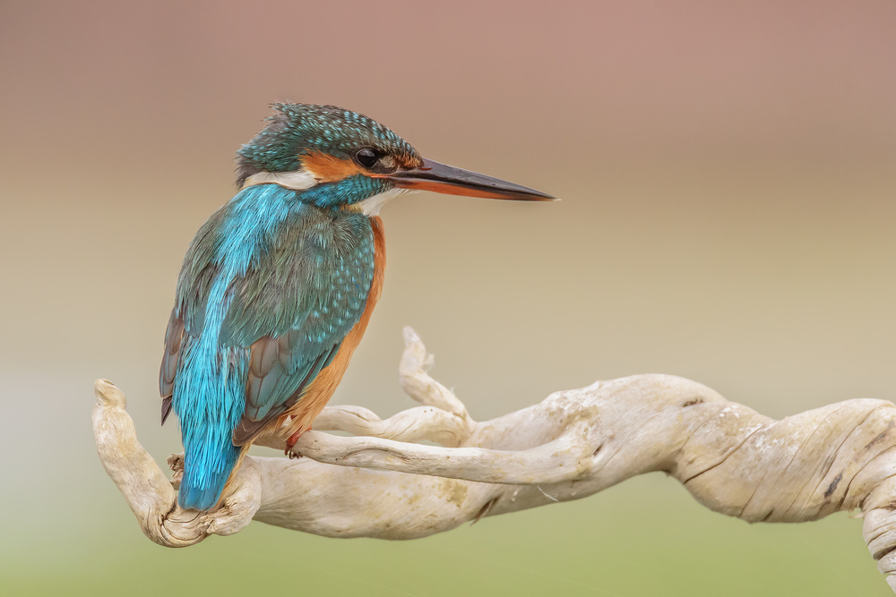 A piece of fine art art photography titled Alcedo Atthis by Massimo Tamajo