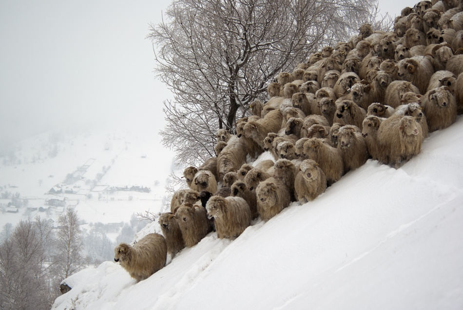 A piece of fine art art photography titled Sheep In Winter by Mihai Doarna