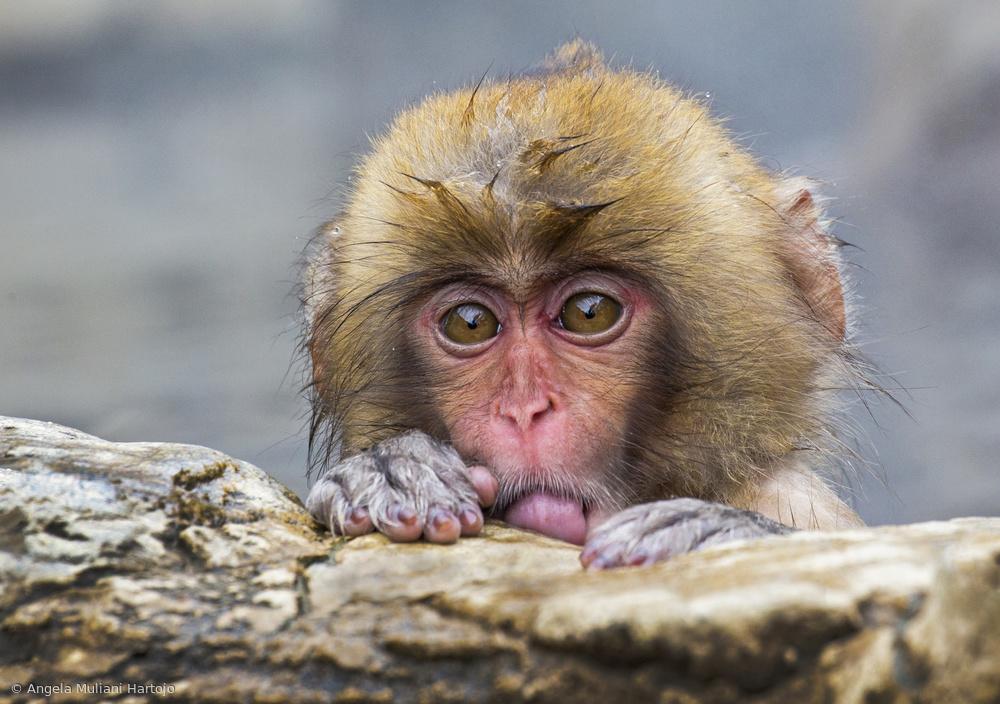 View this piece of fine art photography titled Shy Little Monkey by Angela Muliani Hartojo