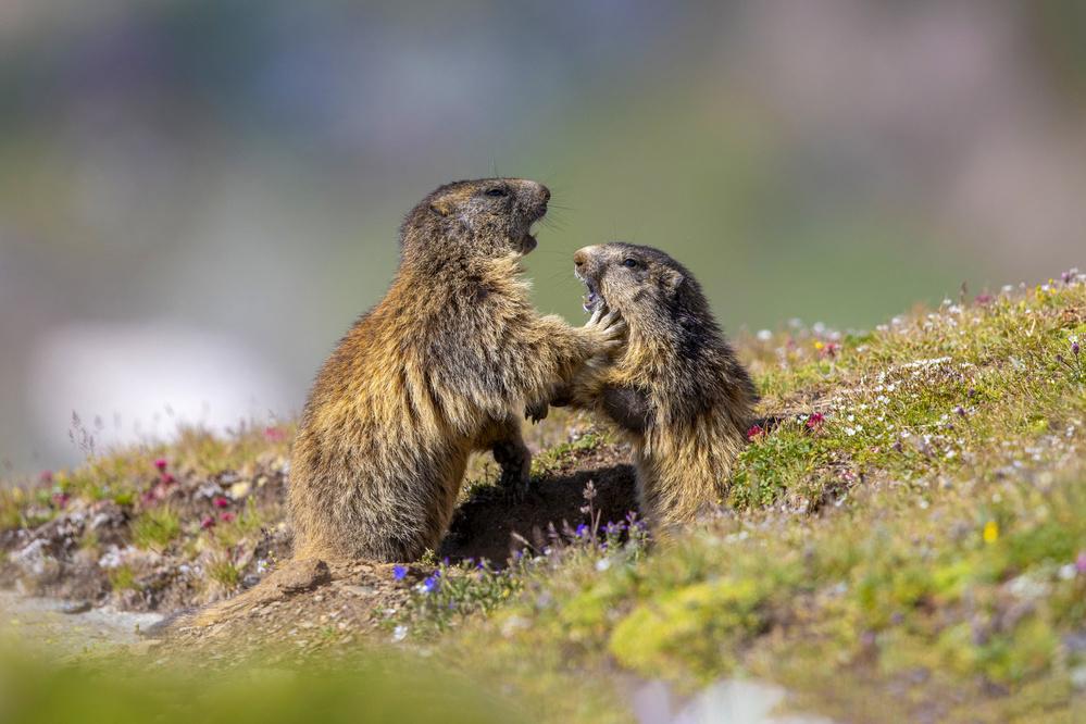 Marmot in the rainbow