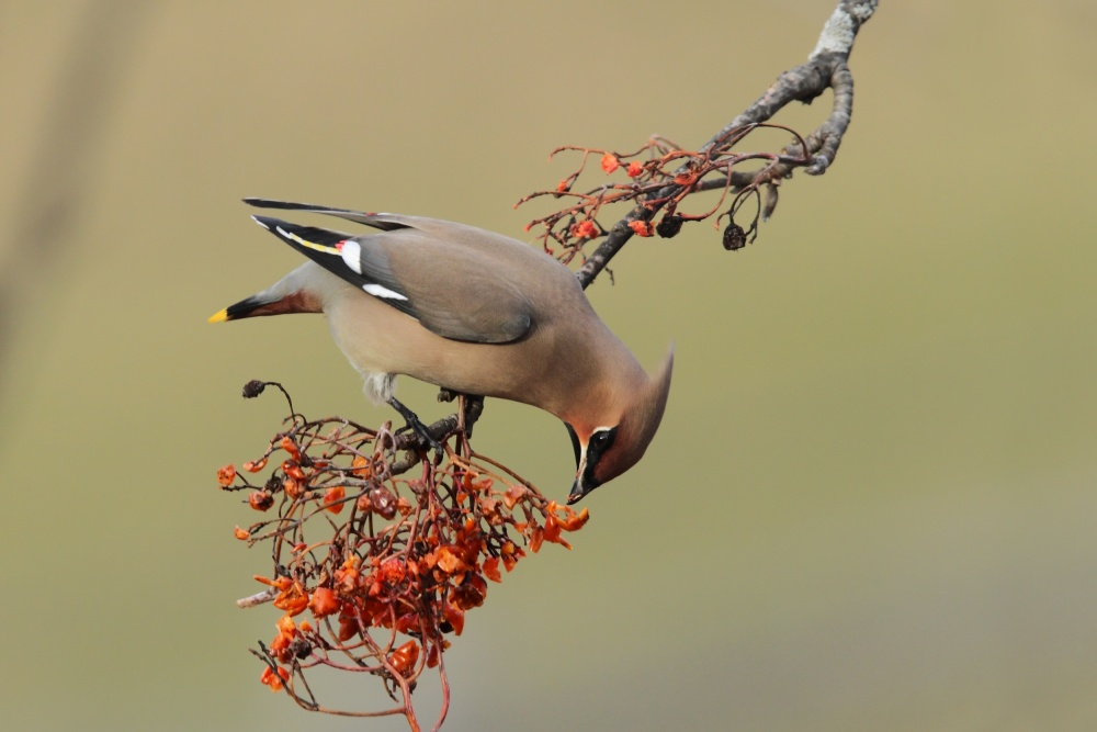 A piece of fine art art photography titled Bohemian Waxwing by Giorgio Perbellini