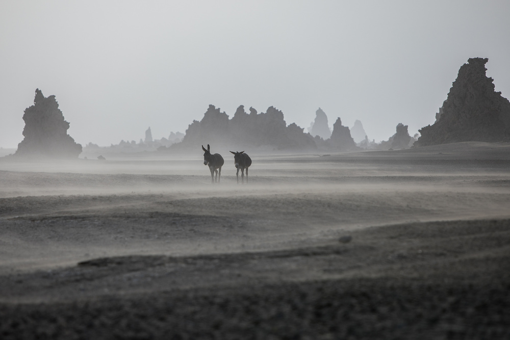 View this piece of fine art photography titled Lonely donkeys at Lac Abbe area, Dikhil by Pawel Uchorczak