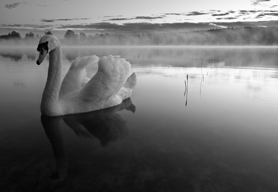 A piece of fine art art photography titled Morning Swan by acrux/Kowalkowski Rafal