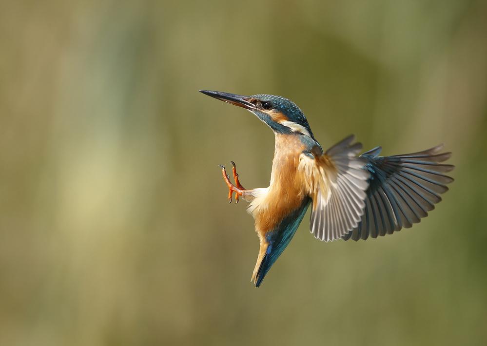 A piece of fine art art photography titled Common Kingfisher 2 by Shlomo Waldmann