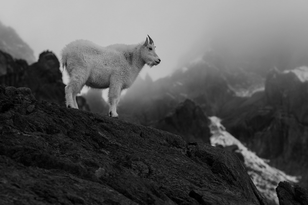 A piece of fine art art photography titled Mountain Goat by Khris Rino