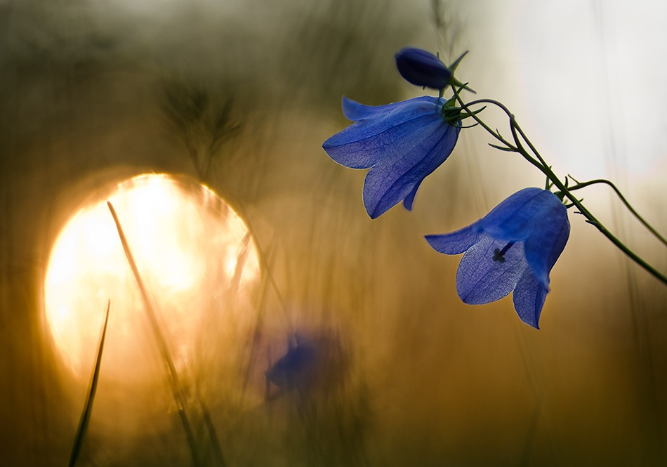 A piece of fine art art photography titled Morning Bells by Thomas Ljungberg