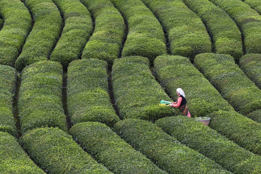A piece of fine art art photography titled Tea Harvest by Özden Sözen