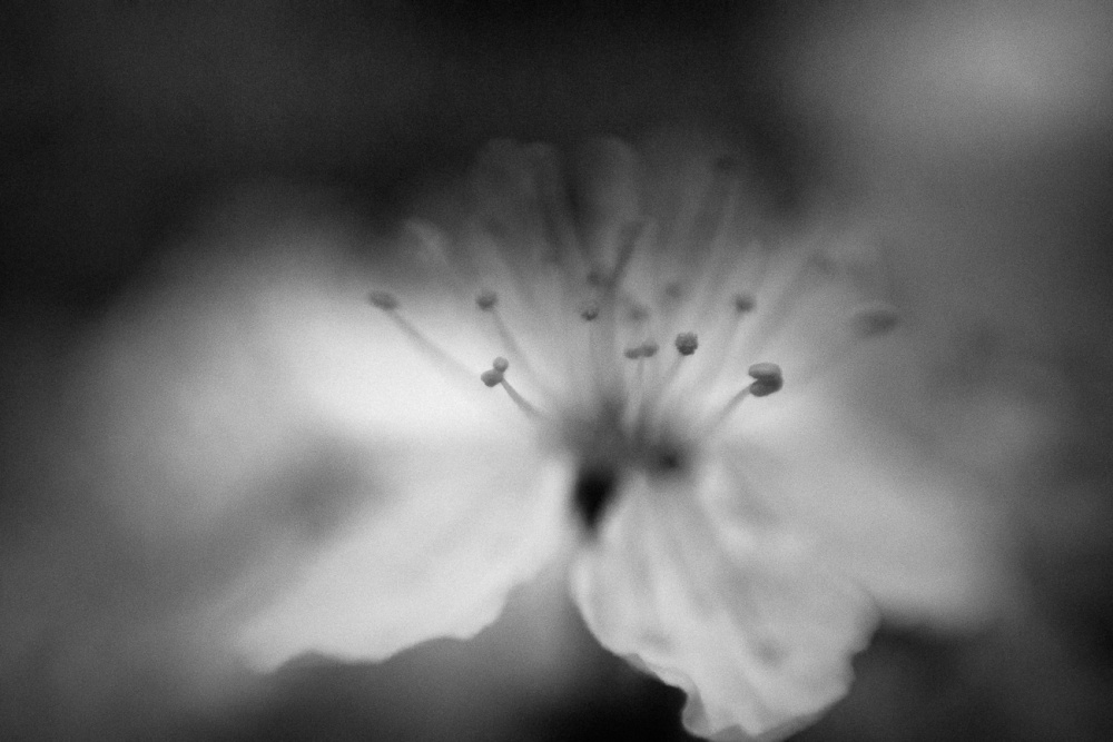 A piece of fine art art photography titled Within a Cherry Flower by Anne Rose Pretorius