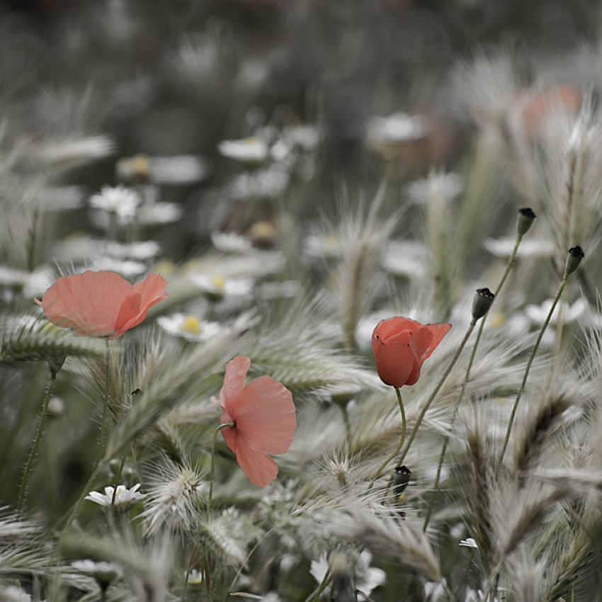 A piece of fine art art photography titled Poppies by Paula van den Akker